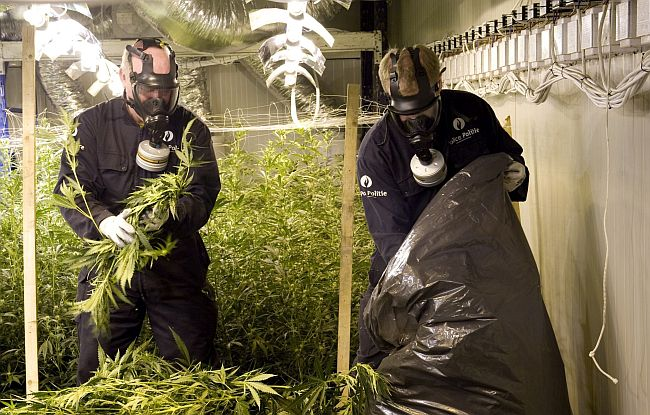 Police Officers rermoving the cannabis plantation...
